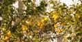 Lemon tree on a white wall Royalty Free Stock Photo