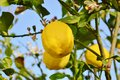 Lemons growing in the sun on a tree cyprus Royalty Free Stock Photography
