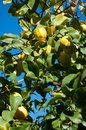 Lemons growing on a tree ripe in soller valley majorca in february Stock Photography