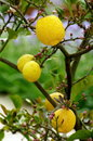 Lemon tree and lemons fruits in growth Royalty Free Stock Photo