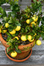 Lemons in a pot Royalty Free Stock Photography