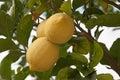 Lemons on the Tree Royalty Free Stock Photos