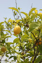 Lemons on a tree Royalty Free Stock Image