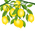 Lemons on tree Royalty Free Stock Photo