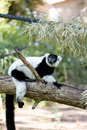 Lemur Fotos de Stock Royalty Free