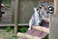 Lemur in captivity Royalty Free Stock Photo