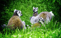 Lemur cata Royalty Free Stock Images