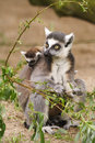 Lemur catta mother with her young one Stock Photos