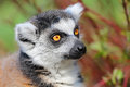 Lemur catta portrait of zoo Stock Images