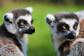 Lemur catta portrait of zoo Stock Photography