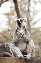 Lemur catta ring tailed eating an apple Stock Photos