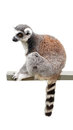Lemur catta he ring tailed is a large strepsirrhine primate and the most recognized due to its long black and white Royalty Free Stock Images