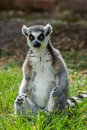Lemur catta / Ring Tailed Lemur Royalty Free Stock Photo