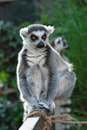 Lemur catta sitting on a fence Stock Image