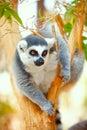 Lemur catta on a tree Stock Photo