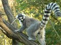 Lemur climbing a tree (Lemur catta) Royalty Free Stock Photos