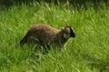 Lemur de Brown de singe, yeux colorés Image stock