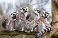 Lemur family Stock Photo