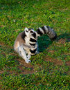 Lemur hugs its tail Stock Photos