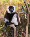 Lemur in the island of madagascar sitting on branch Stock Images