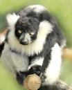 Lemur looking into camera closeup portrait Stock Photos