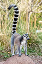 Lemur of Madagascar Royalty Free Stock Images