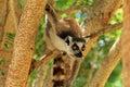 Lemur in Madagascar Royalty Free Stock Photo