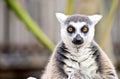 Lemur In Melbourne