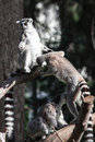 Lemur pair of lemurs sitting in a funny pose Royalty Free Stock Photography