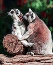Lemur pair of lemurs sitting in a funny pose Royalty Free Stock Photo