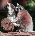 Lemur pair of lemurs sitting in a funny pose Royalty Free Stock Photos