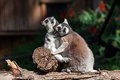 Lemur pair of lemurs sitting in a funny pose Stock Photography
