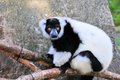 Lemur playing in tree branches in zoo miami south florida Stock Photo