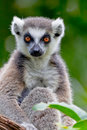 Lemur of ring-shaped tail ,Lemur catta Stock Photo