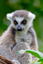 Lemur of ring-shaped tail ,Lemur catta Royalty Free Stock Image