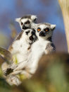 Lemur Ring-tailed (catta del Lemur) Immagini Stock