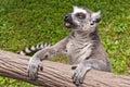Lemur Ring-tailed (catta do Lemur) Fotos de Stock Royalty Free