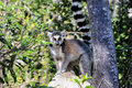 Lemur Ring-tailed, catta do lemur, Anja Foto de Stock Royalty Free