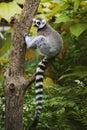 Lemur Ring-tailed que senta-se na árvore Imagens de Stock Royalty Free