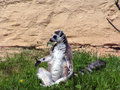 Lemur sitting on the grass Royalty Free Stock Image