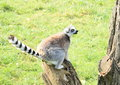 Lemur sitting on stump ready for jump Royalty Free Stock Photos