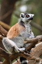 Lemur sitting on the tree in safari park central israel Stock Photography