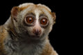 Lemur Slow Loris Royalty Free Stock Photo