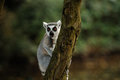A lemur in a tree Royalty Free Stock Photos