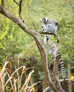 Lemur in a tree Stock Photo
