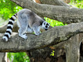 Lemur on a Tree Branch Stock Photography