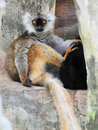 Lemur (vertical) Royalty Free Stock Image