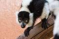 Lemure in bianco e nero di ruffed che fissano intensamente Fotografie Stock