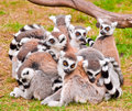 Lemurs Royalty Free Stock Photo