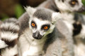Lemurs family of detail of head Stock Photography